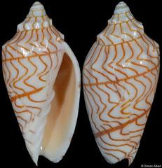 Paramoria guntheri (South Australia, 54,8mm)