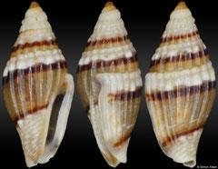 Seminella peasei (Philippines, 3,8mm) F+++ €2.50