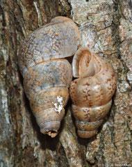 Crossepoma vermiculatum vermiculatum (Oviedo, Dominican Republic)