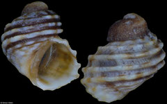 Echinolittorina parcipicta (Pacific Mexico, 3,1mm) F++ €4.50 (specimens for sale are 3-4mm and are of the same quality as the specimen illustrated)