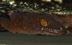 Tokay gecko (Gekko gecko), Bokor Mountain, Cambodia