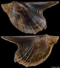 Pteria colymbus (Brazil, 56,7mm) F €8.00 (specimens for sale are 56mm+ and are of the same quality as the specimen illustrated)