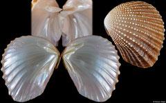 Neotrigonia bednalli (South Australia, 43,8mm)