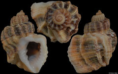 Trigonostoma scala (Senegal, 19,8mm) F++ €3.25 (specimens for sale are 19-21mm and are of the same quality as the specimen illustrated)