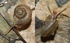 Preclaripoma thompsoni (N of Majagual, Dominican Republic)