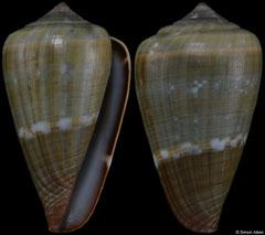 Conus irregularis (Cape Verde, 28,1mm)