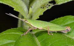 Grasshopper (Pyrgomorphidae sp.), Ban Naka, Vientiane Province, Laos