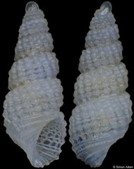 Chrysallida clathratula (Pacific Mexico, 2,5mm) F++ €3.00 (specimens for sale are 2.2-2.5mm and are of the same quality as the specimen illustrated)