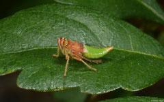 Froghopper (Cercopoidea sp.) nymph, Nha Trang, Vietnam