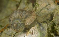 Rolleia sp. nov. (E of Gurabito de Yaroa, Dominican Republic)