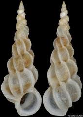 Epitonium sandwichense (Philippines, 6,0mm) F+++ €25.00