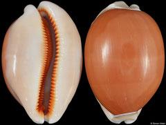 Cypraea aurantium (Philippines, 84,2mm)