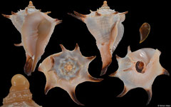 Tudivasum zanzibaricum (Tanzania, 45,5mm)