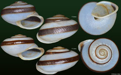 Chloritis khammouanensis (Laos, 17,8mm, 17,3mm)