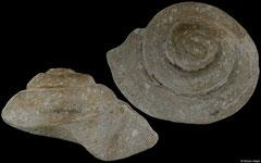 Bathrotomaria sp. (England, 62,9mm) Cretaceous fossil €19.00