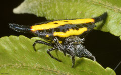 Yellow-horned spider (Gasteracantha parangdiadesmia), Balut Island, Philippines