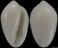 Prunum walvisiana (Namibia, 12,8mm)