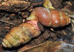 Farcimen vignalensis (Valle de la Jutía, Viñales, Pinar del Río, Cuba)