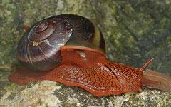 Hemiplecta pluto (3km WSW of Lakxao, Bolikhamsai Province, Laos)