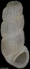 Truncatella cf. granum (Philippines, 4,0mm) €8.00