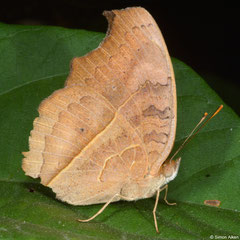 Brush-footed butterfly (Nymphalidae sp.), Hà Tiên, Vietnam