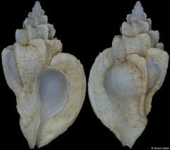 Dermomurex neglecta (Philippines, 20,0mm) F++ €15.00