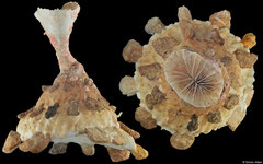 Xenophora granulosa (Philippines, 105mm)