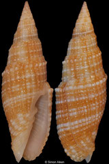 Vexillum poppei (Philippines, 30mm)