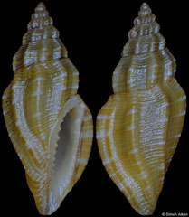 Eucithara sp. (Philippines, 7,7mm)
