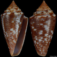 Conus simonei (Brazil, 23,2mm) F+++ €20.00