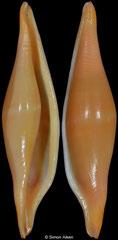 Phenacovolva philippinarum (Philippines, 43,5mm)