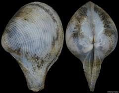 Cuspidaria tomricei (Philippines, 8,3mm) F+/F++ €10.00