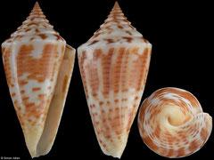Conus anabathrum (Florida, USA, 39,3mm) F++ €13.50