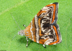 Metalmark moth (Choreutis orthogona), Kampong Trach, Cambodia