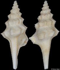 Columbarium subcontractum (South Africa, 40,0mm)