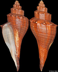 Brunneifusus ternatanus (Philippines, 124,9mm) (sinistral freak) Gd/F €140.00