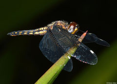 Broad skimmer (Orthetrum azureum), Fianarantsoa, Madagascar
