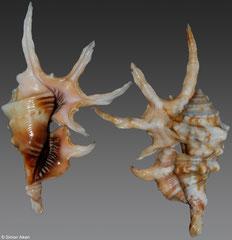 Lambis scorpius (freak) (Vietnam, 81mm)