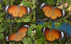 African monarch (Danaus chrysippus), Salary, Madagascar