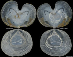 Vasconiella jeffreysiana (France, 3,2mm)