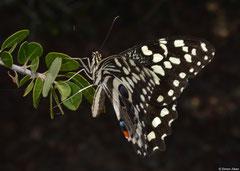 Citrus swallowtail (Papilio demodocus), Salary, Madagascar
