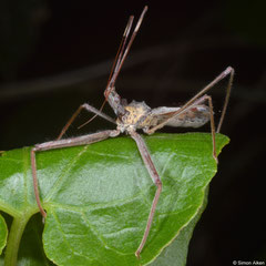 Assassin bug (Reduviidae sp.), Samal Island, Philippines