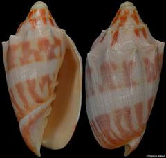 Cymbiola deshayesi (New Caledonia, 76,4mm)