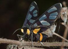 Wasp moth (Amata sp.), Krong Kaeb, Cambodia
