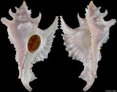 Purpurellus gambiensis (Senegal, 51,9mm)