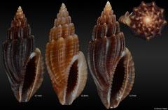 Eucithara cf. coronata (Philippines)