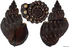 Scalptia textilis (Philippines, 33,5mm) F+++ €7.00