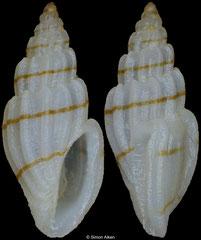 Eucithara cf. coronata (Philippines, 7,0mm)