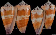 Conus circumactus (Philippines, 45,3mm, 40,2mm)