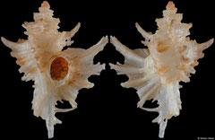 Favartia hidalgoi (Florida, USA, 31,8mm)